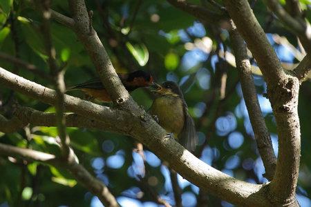 幼鳥への給餌.jpg